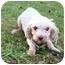 Photo 2 - Maltese Dog for adoption in Oak Ridge, New Jersey - Finn- LAP DOG