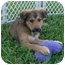 Photo 1 - Shepherd (Unknown Type)/Spaniel (Unknown Type) Mix Puppy for adoption in West Palm Beach, Florida - CHANEL