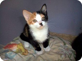 Domestic Mediumhair Kitten for adoption in Concord, North Carolina - Rainbow
