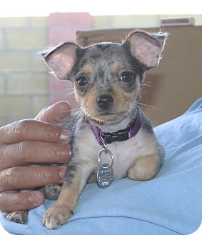 Chihuahua/Dachshund Mix Puppy for adoption in Santa Ana, California - Fajita