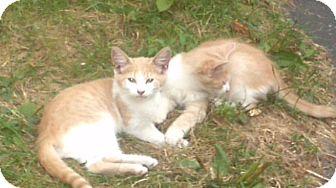 Turkish Angora Kitten for adoption in Syracuse, New York - Peaches