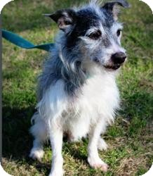 Terrier (Unknown Type, Small) Mix Dog for adoption in justin, Texas - Elvis