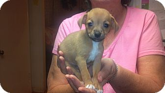 Chihuahua Puppy for adoption in Hazard, Kentucky - Pecan