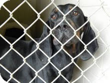 Black and Tan Coonhound Mix Dog for adoption in Washington, D.C. - Dudley Urgent Reduced