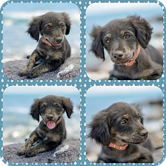 Spaniel (Unknown Type)/Chihuahua Mix Puppy for adoption in Corona, California - JAKE, watch my videos!