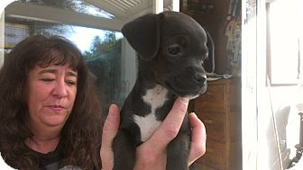 Jack Russell Terrier/Chihuahua Mix Puppy for adoption in Burbank, California - Gemma