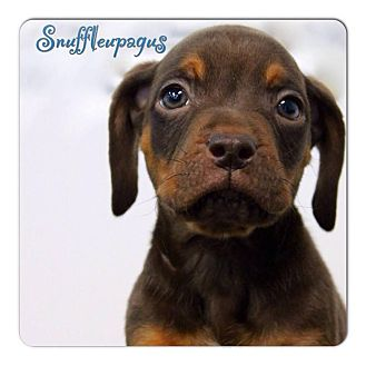 Pug/Beagle Mix Puppy for adoption in Garden City, Michigan - Snuffleupagus