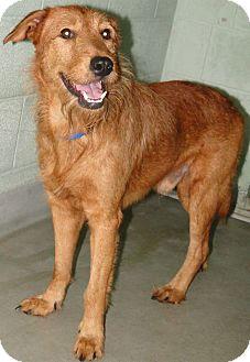 Irish Terrier Mix Dog for adoption in Brooksville, Florida - 1022977 Connor