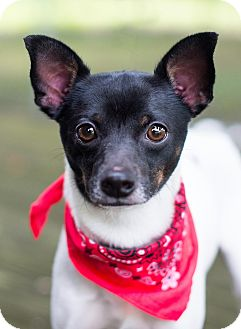Terrier (Unknown Type, Small) Mix Dog for adoption in Portsmouth, Rhode Island - Mickey
