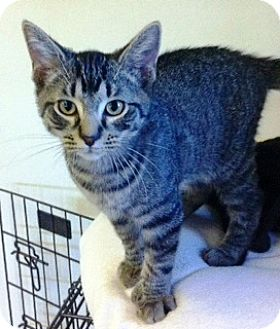 Domestic Shorthair Kitten for adoption in Battle Creek, Michigan - Nigel