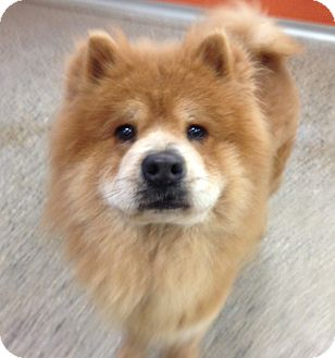 Chow Chow Dog for adoption in Tillsonburg, Ontario - Piccalilli