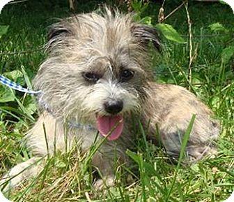 Yorkie, Yorkshire Terrier/Shih Tzu Mix Puppy for adoption in Oswego, Illinois - Katie Kakes