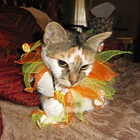 Domestic Shorthair Cat for adoption in Knoxville, Tennessee - Kamy