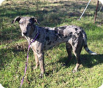 Great Dane Mix Dog for adoption in Croydon, New Hampshire - JADE