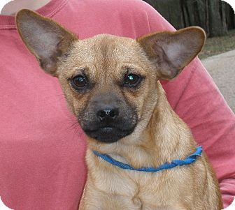 Pug/Chihuahua Mix Dog for adoption in Chicago, Illinois - Pabst