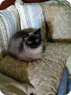 Siamese Cat for adoption in Columbus, Ohio - Allanna
