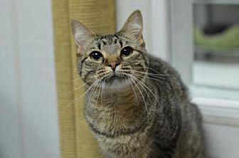 Domestic Shorthair Cat for adoption in Atlanta, Georgia - Addie 12193