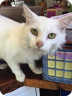Domestic Mediumhair Cat for adoption in Baltimore, Maryland - Muppet