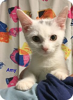 Domestic Shorthair Kitten for adoption in Cliffside Park, New Jersey - AMY