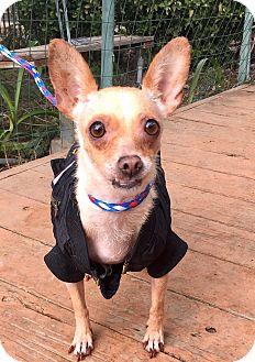 Chihuahua/Rat Terrier Mix Dog for adoption in Santa Ana, California - Audrey