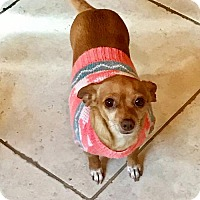 Dachshund/Chihuahua Mix Dog for adoption in Santa Clarita, California - Ginger