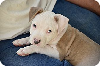 Pit Bull Terrier Mix Puppy for adoption in Mission Viejo, California - Cupid