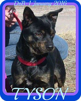 Jack Russell Terrier/Pug Mix Dog for adoption in Halifax, Nova Scotia - TYSON