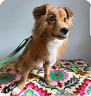 Spaniel (Unknown Type)/Jindo Mix Dog for adoption in LONG ISLAND CITY, New York - Taeyang