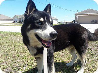 Siberian Husky Dog for adoption in Clearwater, Florida - Joffrey