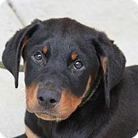 Adopt A Pet :: Zara - Harrisonburg, VA