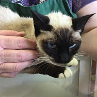 Siamese Cat for adoption in Houston, Texas - INDIGO (AKASHA)