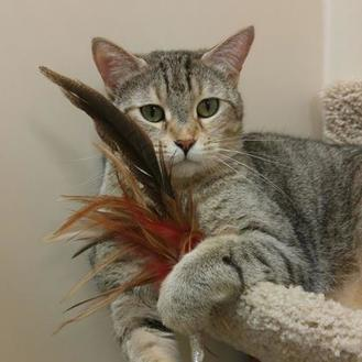 Domestic Shorthair/Domestic Shorthair Mix Cat for adoption in Elk Grove Village, Illinois - Jenova