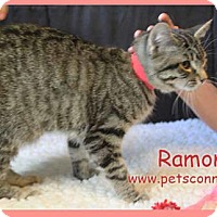 Domestic Shorthair Kitten for adoption in South Bend, Indiana - Ramona