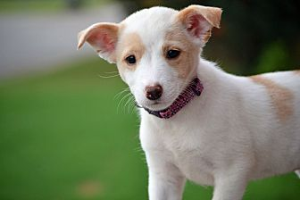 Sheltie, Shetland Sheepdog/Jack Russell Terrier Mix Puppy for adoption in Hagerstown, Maryland - Laney
