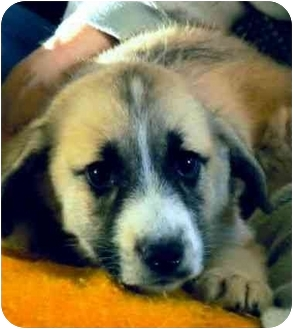 St. Bernard Mix Puppy for adoption in all of, Connecticut - Bernadette