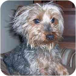 Yorkie, Yorkshire Terrier Mix Dog for adoption in Ft Myers, Florida - Scruff