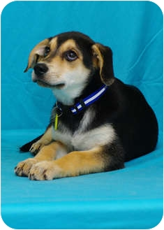 Shepherd (Unknown Type)/Hound (Unknown Type) Mix Puppy for adoption in Westminster, Colorado - MAYFIELD