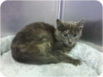 Calico Kitten for adoption in Whitestone, New York - BALINDA