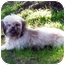 Photo 3 - Shih Tzu/Poodle (Toy or Tea Cup) Mix Dog for adoption in Los Angeles, California - GRETA