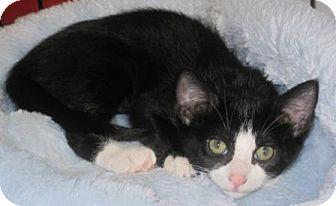 Domestic Shorthair Kitten for adoption in Houston, Texas - Melissa