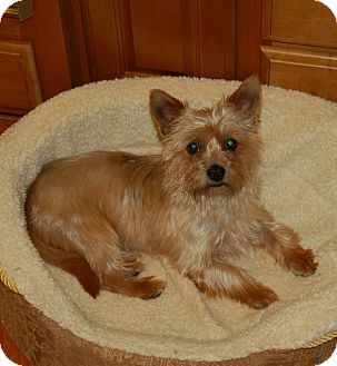 Cairn Terrier Dog for adoption in Charlotte, North Carolina - Murphy