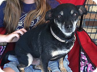 Manchester Terrier Mix Dog for adoption in North Hollywood, California - Nigel