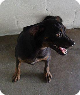 Miniature Pinscher Mix Dog for adoption in Winter Haven, Florida - Tyson