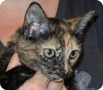 Domestic Shorthair Kitten for adoption in Phoenix, Arizona - Dalia