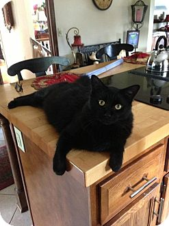 Domestic Longhair Cat for adoption in Greeneville, Tennessee - Titus