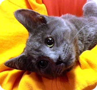Domestic Shorthair Kitten for adoption in Green Bay, Wisconsin - Gale