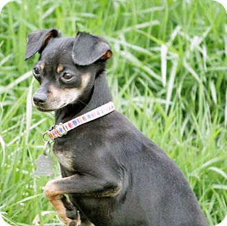 Chihuahua Mix Puppy for adoption in Lynnwood, Washington - Shyla