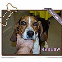 Adopt A Pet :: Harlow - Portland, OR