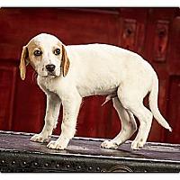 Adopt A Pet :: Pee Wee - Owensboro, KY