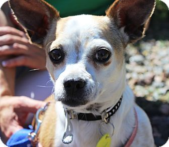 French Bulldog/Chihuahua Mix Dog for adoption in Westminster, Colorado - Autumn